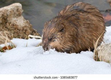 Muskrat (Ondatra zibethicus) searching grass under snow at the lake edge, Ames, Iowa, USA