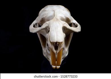 Muskrat (Ondatra zibethicus) skull isolated on black background