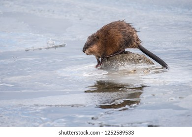 A muskrat prepares to dive back into the icy water in search of mussels at Colonel Samuel Smith Park in Toronto, Ontario, Canada.