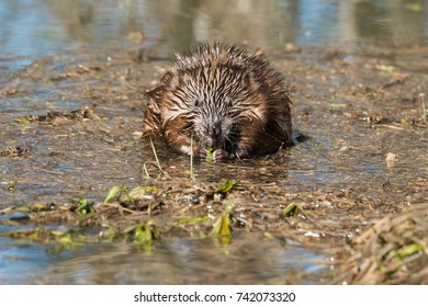 Muskrat standing in the shallow marsh eating a leaf. Minesing Wetlands Conservation Area, Ontario, Canada.