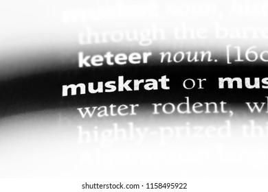 muskrat word in a dictionary. muskrat concept.