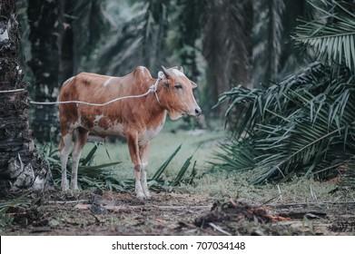 Muslim performing halal slaughtering of cows during Eid Al-Adha Al Mubarak, the Feast of Sacrifice or Qurban
