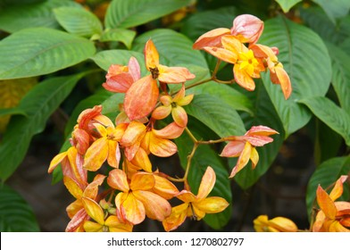Mussaenda marmalade or ashanti blood or red flag bush or tropical dogwood orange yellow flowers