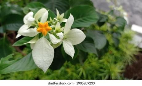 Mussaenda Philippica known varieties include Donna Laz, Alicia Luz, Queen Sirikit, Donna Aurora, Donna Envangellina