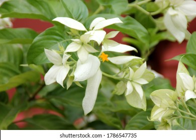 Mussanda philippica `Aurorae`, White Mussaenda, Tropical Dogwood, tropical shrub with large elliptic ovate leaves and small orange yellow flowers with five greatly enlarged white sepals.