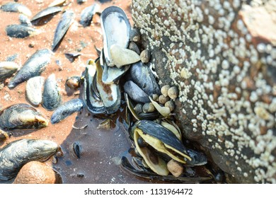 Mussel shells stuck on the rock in the shallow. Taken in Charlottetown, Prince Edward Island, Canada.