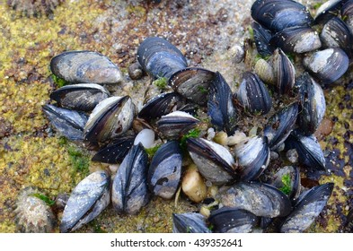 Mussels attached to a rock at Mindelo beach, in the north of Portugal