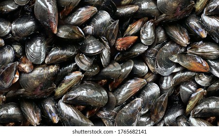 Mussels Background as a raw mussel seafood symbol as a fresh shellfish cuisine ingredient.