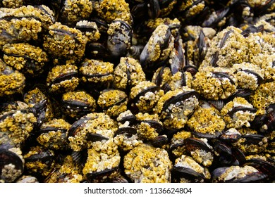 Mussels and barnacles exposed at low tide on Seal Rock beach,  Newport, Oregon