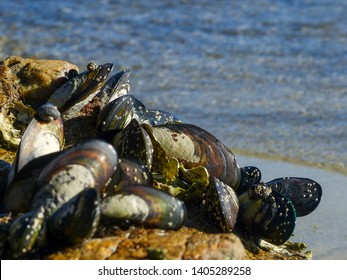 Mussels, Large New Zealand Green Lipped Mussels growing on beach rock on the sea shore in Abel Tasman National Park in New Zealand. Wild Ocean Mussels, growing naturally, coastal nature, shellfish