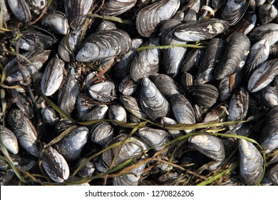 Mussels on the Baltic Sea beach