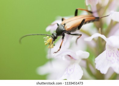 A mustachioed beetle sits on the inflorescence of an orchid