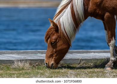 Mustang wild horse in  Assateague Park -Maryland