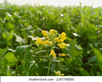 mustard beautiful flowers view at morning time from fields