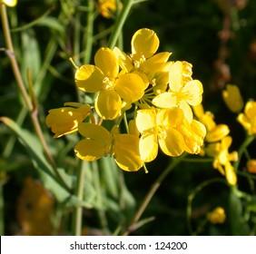 Mustard Blossoms