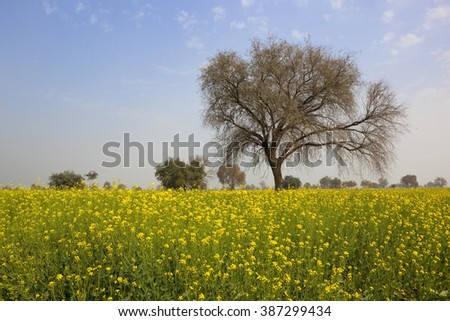 Mustard crop springtime rajasthan india bright stock photo edit now a mustard crop in the springtime in rajasthan india with bright yellow flowers and a mightylinksfo