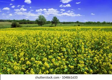 Mustard field against a blue sky - beautiful landscape