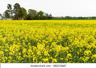 Mustard field against a white sky