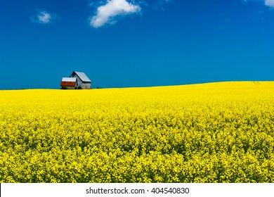 Mustard field in bloom against a deep blue sky, with barn on horizon