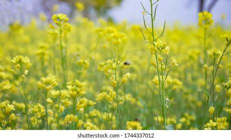 mustard field - close up of yellow mustard flowers