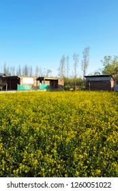 Mustard field at countryside in Jammu and Kashmir, India shoot by mobile camera.