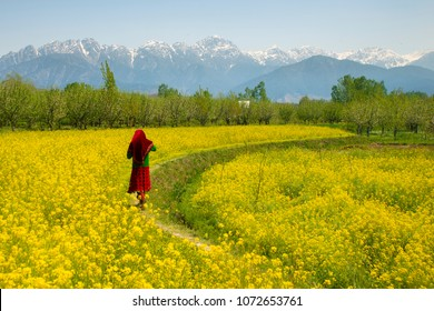 Mustard field in Pahalgam Kashmir India . A Muslim Kashmiri girl or Indian girl walking in the mustard field isolated on snow hill background.
