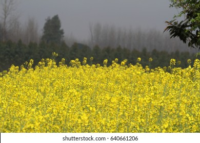 Mustard Field Punjab