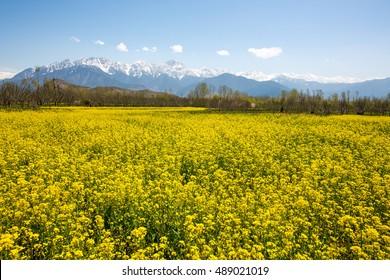 mustard field, srinagar, kashmir,india