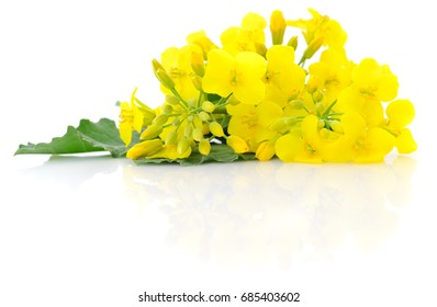 Mustard Flower blossom, Canola or Oilseed Rapeseed, close up , isolated on white background.