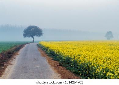 mustard flower in fields