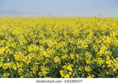 mustard flower fields