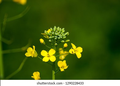 Mustard flower and seed pods