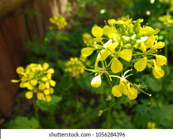 Mustard flower Sinapis Aiba yellow flowers and plant, nature. Flowers of hedge mustard (sisymbrium officinale), an old cultivation and medical plant.