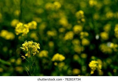 mustard oil flowers