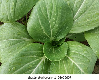 Mustard pakcoy or bok choy is a popular type of vegetable. Vegetables, also known as mustard spoon, are easily cultivated and can be eaten fresh, cooked or processed into pickles (Sawi Pakcoy)