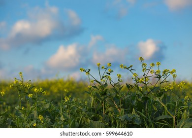 Mustard plant field with cloudy sky background.