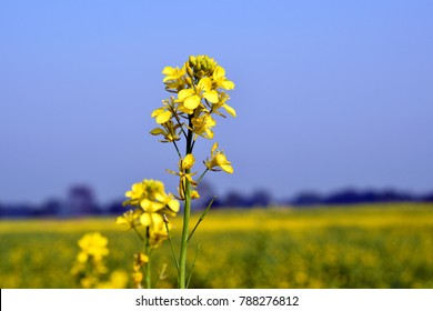 mustard plants are any of several plant species in the genera brassica and sinapis in the