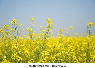 Mustard seed farm,  yellow flowers of mustard seed, Taken 5 January 2021 at Kothputli, Rajasthan, India