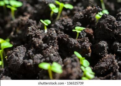 Mustard sprout macro close-up image