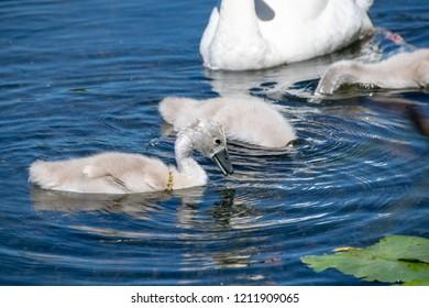 Mute cygnet swan