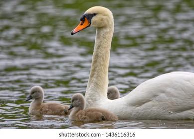 Mute Swan Adult & Cygnets, Stratford, Ontario, Canada