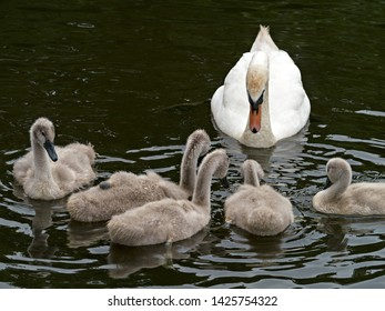 Mute Swan adult (Cygnus olor) with Cygnets on River Lin, in Bradgate Park, Leicestershire, England, UK