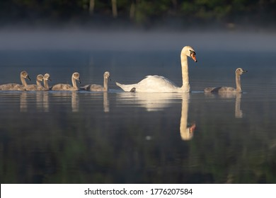Mute swan adult and signets swim in pond at dawn