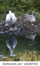 Mute Swan and almost full grown Cygnet