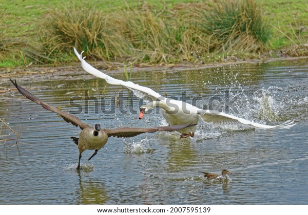 mute-swan-attacking-canada-goose-600w-20