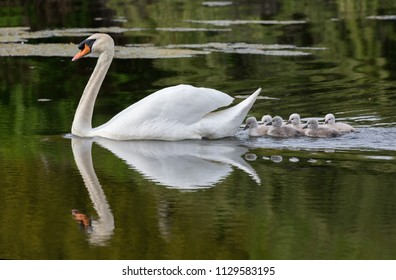 Mute swan baby at Ambleside Park, Vancouver BC Canada