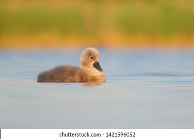 Mute Swan chick (Cygnus olor) swimming on a beautiful lake. Cute little waterbird baby in soft evening light. Czech Republic