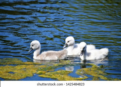 Mute Swan chicks swimming on the pond. Ambleside park West Vancouver BC Canada