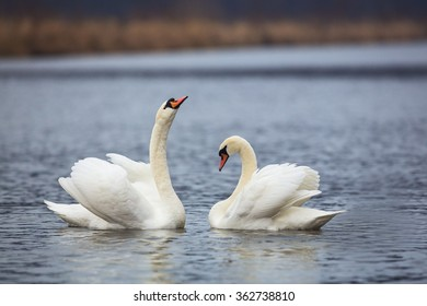 Mute swan couple sitting at water.
