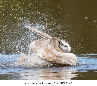 Mute Swan Cygnet making a splash